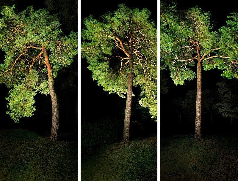 alte Kiefern . LICHTBLICK  .  Triptychon