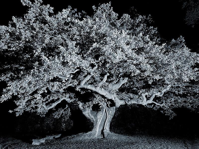 alte Bäume . TAUSENDJÄHRIGE EICHE  .  Reith