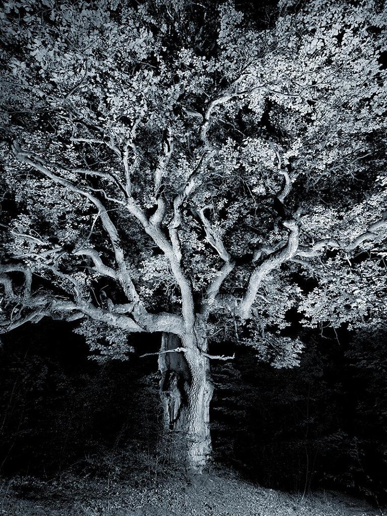 alte Bäume . URALTEICHE  .  Saba-Urwald