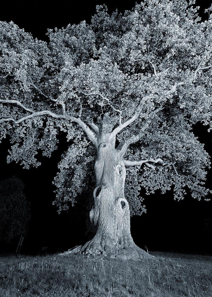 alte Bäume . KAISEREICHE  .  Füttersee