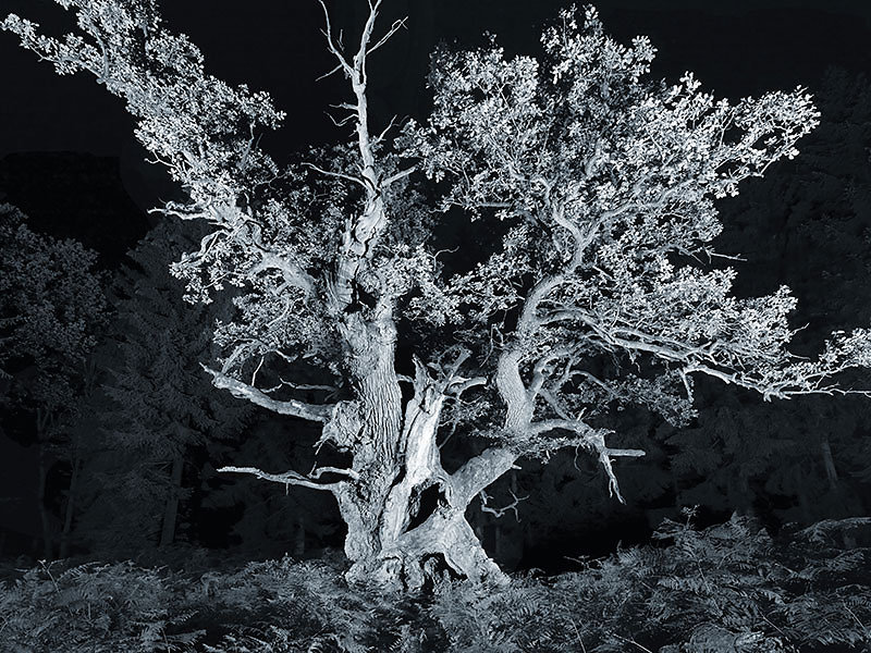 alte Bäume . GERICHTSEICHE  .  Junkernkopf