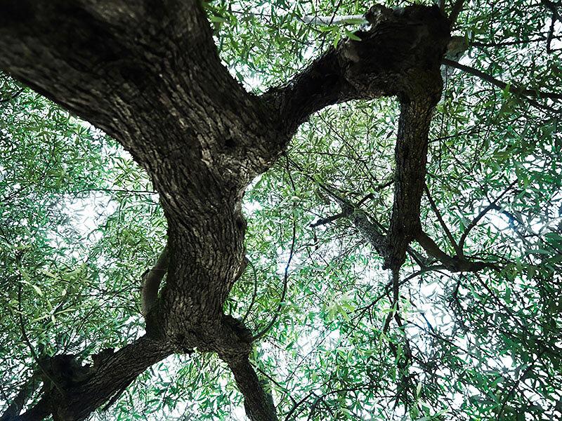 alter Olivenbaum . MONTE ACUTO  .  060