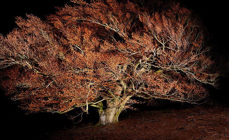 alte Bäume . ROTBUCHE  .  Pilsterkopf