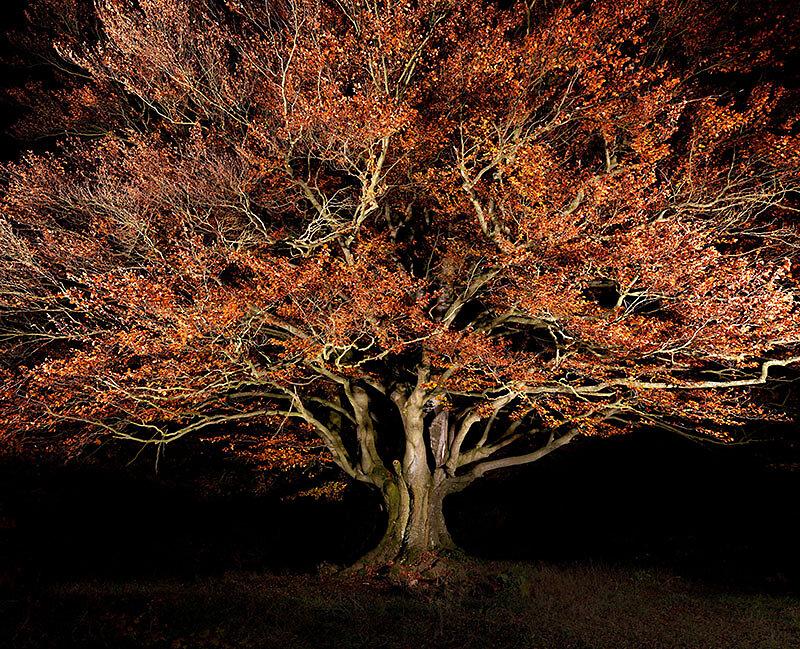 alte Bäume . HANNESBUCHE  .  Schönderling