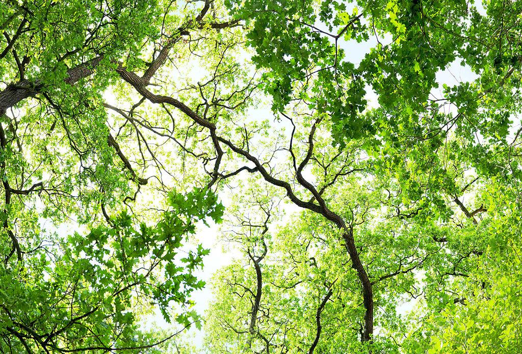 Fotokunst-alte-Baume-Eichen.jpg