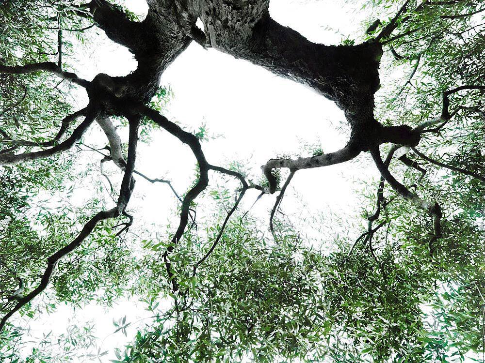 fotokunst-olivenbaum.jpg