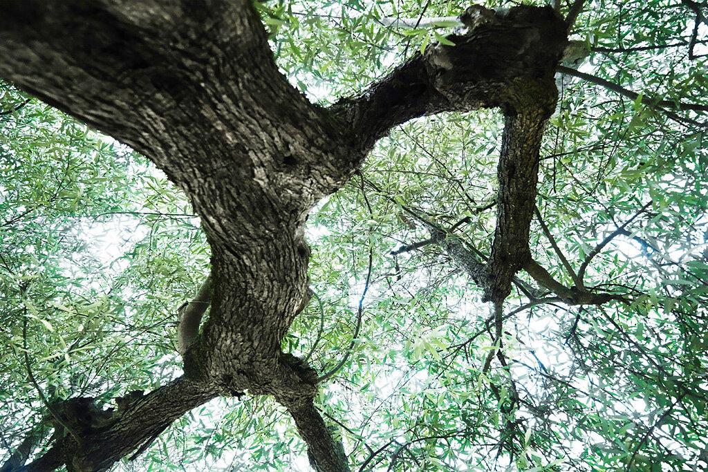 Olivenbaum-Fotokunst.jpg