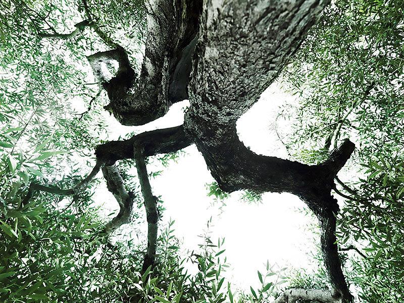 alter Olivenbaum . MONTE ACUTO  .  088